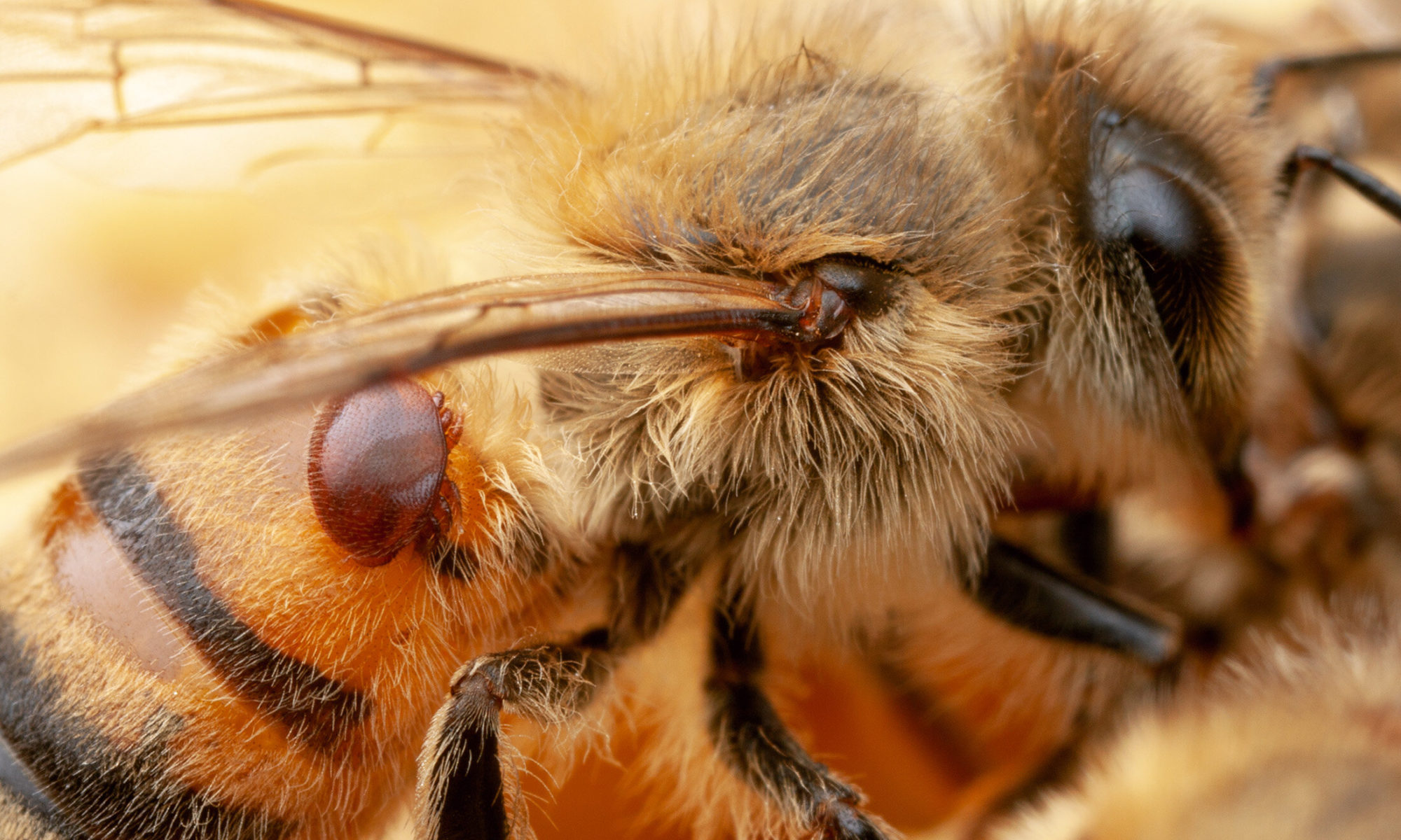 Varroa ©copyright Credit: Alex Wild/University of Texas - Austin